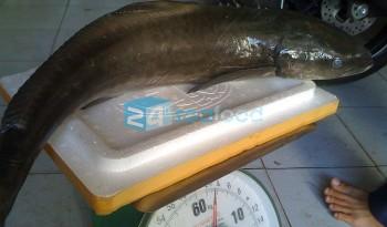Cá Bớp Phan Thiết full